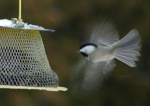 By Ano Lobb (Flickr: Black Capped Chickadee hovering at feeder) [CC BY 2.0 (http://creativecommons.org/licenses/by/2.0)], via Wikimedia Commons