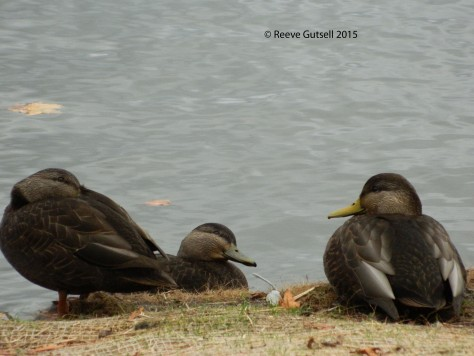 Black Ducks 121615